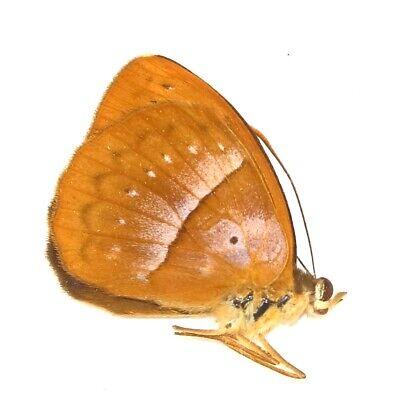 Solid Brass Amber Figurine Grasshopper IronWork