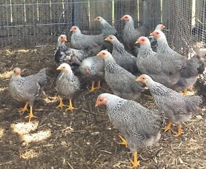 Wyandotte silver pencilled bantam pullets and one Rooster