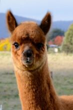 ALPACAS FOR SALE Burra Queanbeyan Area Preview