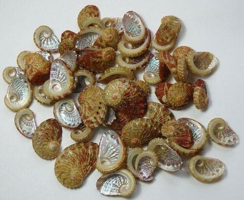 Haliotis clathrata 18.6mm-34.4mmF+++, 61pcs. shell marine mollusk ,Philippines