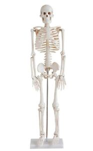 1st QUALITY 33.5 in HUMAN ANATOMICAL SKELETON EDUCATIONAL ANATOMY MODEL w/STAND