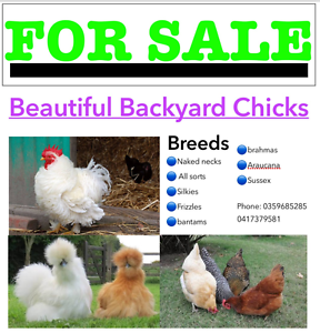 Chickens For Sale Emerald Cardinia Area Preview