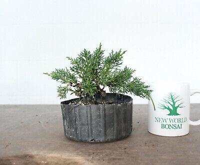 Live Bonsai Tree, Kishu Shimpaku Juniper, Wired Trained, Yamadori Style Shimpaku Bonsai Tree