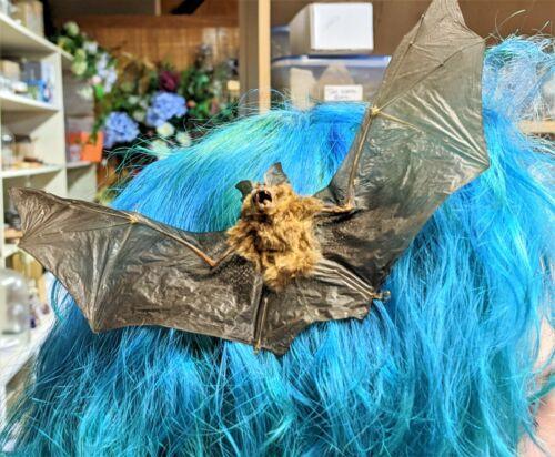 J17b Taxidermy Bat Hair Comb Barrett goth Real voodoo witch curiosities oddities