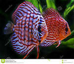Full Grown Discus Fish for sale!!!