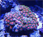 Looking for saltwater corals