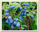 2 yr old HasKap Berry Plants