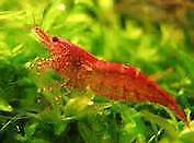 10 assorted sized and sex of cherry shrimp for $15