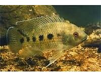 Tropical fish - Mozambique Mouthbrooders