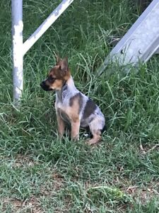 Huntaway cross blue cattle/kelpie pups