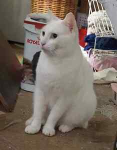 Gorgeous pure white bi-coloured eyed fostered cat Waramanga Weston Creek Preview
