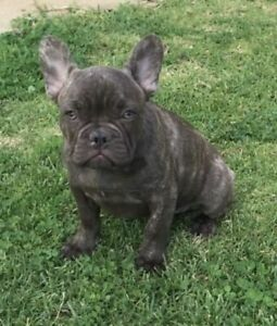 french bulldog in New South Wales | Pets | Gumtree Australia