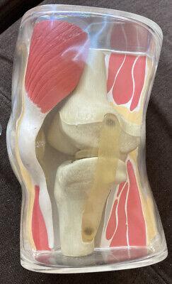 Vintage 1962 Anatomical Knee Joint Model Merck Co Dr. Office Medical Display