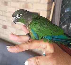 4 x baby conures and 3 x scaly Kippa-ring Redcliffe Area Preview