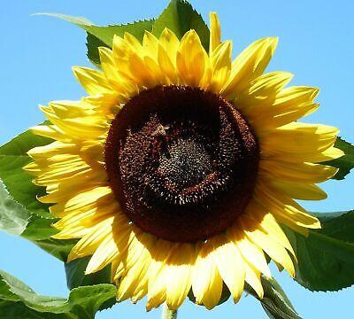 Sonnenblume 20 Samen (🌻 20 Samen Sonnenblume Gelbe Riesen mit riesigen Blüten)