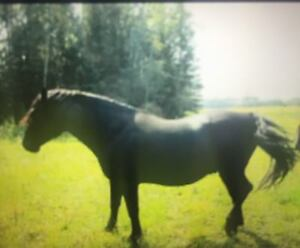Pure bred registered Canadian stud