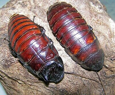 4 Pairs, Giant Madagascar Hissing Cockroaches,dubia Roach Alturnative - $35.50