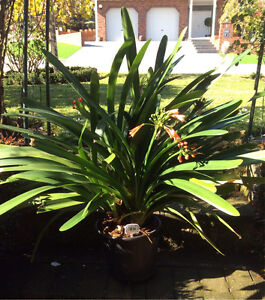 Large well established orange flower Clivia plant Wynn Vale Tea Tree Gully Area Preview