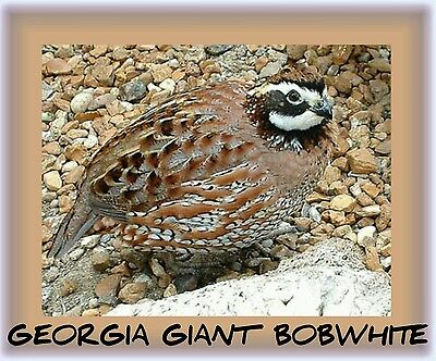 100 Superior Yield Georgia Giant Bobwhite Quail Egg Fertile Hatching Conservatio