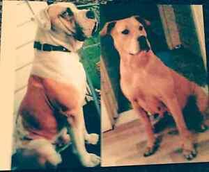 Pups for sale Mowbray Launceston Area Preview