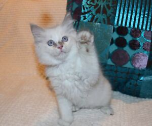 PEDIGREE RAGDOLL KITTENS 1 MALE LEFT LILAC MITTED WITH BLAZE Ferntree Gully Knox Area Preview
