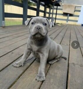 Blue English Staffy In Melbourne Region Vic Dogs Puppies Gumtree Australia Free Local Classifieds