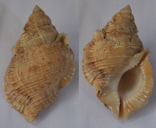 Seashells Bufonaria margaritula FROG SHELLS BURSA 69mm HUGE F++ Marine Specimen