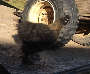 Silkie Roosters for Sale