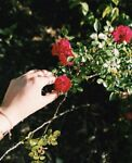 rosesfortheheart