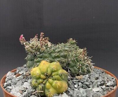 Gymnocalycium Baldianum variegated POT cm 14 Cod 1118 Succulent Cactus Store
