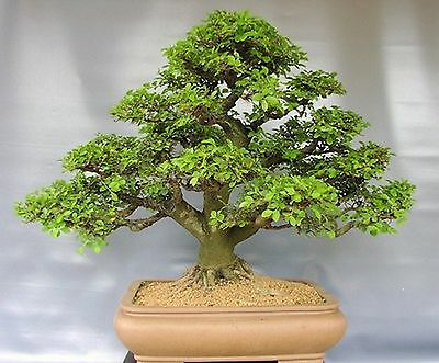 pflege von bonsai ulmus parvifolia chinesische ulme ebay. Black Bedroom Furniture Sets. Home Design Ideas