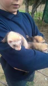 Ferrets for sale Willunga Morphett Vale Area Preview