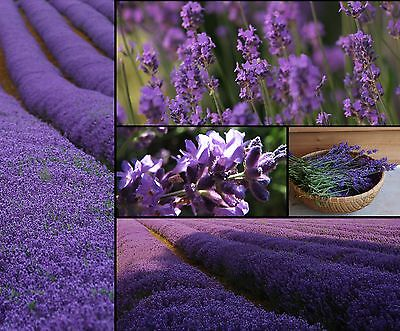 ECHTER LAVENDEL 25.000+ Samen LAVANDULA ANGUSTIFOLIA Duft KRÄUTER Lavender seeds - Blühende Kräuter Duft