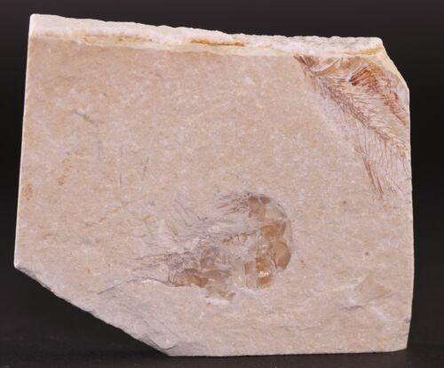 Fossil Nice Shrimp Unpainted & Partial Fish Cretaceous Lebanon COA 3800