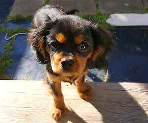 MISSING CAVALIER KING CHARLES Berala Auburn Area Preview