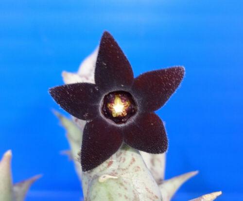Caralluma hesperidum, 2 unrooted stem , Phyto available