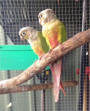 Breeding Conures for sale Reedy Creek Gold Coast South Preview