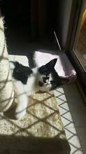 Kitten Needs a home URGENTLY Caroline Springs Melton Area Preview