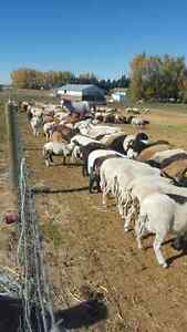 Black bellies, dorpers,katandets sheep for sale