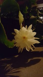Night-blooming Cereus,BLOOMING,Exotic (Queen of the night)plants