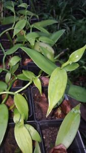 VANILLA BEAN ORCHID PLANT ROOTED IN POT- 1950 HEIRLOOM MADAGASCAR MOTHER PLANT
