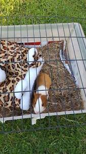 Male, friendly baby guinea pig Marsfield Ryde Area Preview