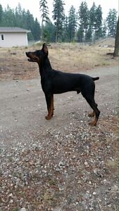 CKC registered Doberman Puppies