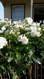 STANDARD ROSES 3 FOOT, WHITE ICEBERGS, PINK, YELLOW, APRICOT ETC Skye Frankston Area Preview