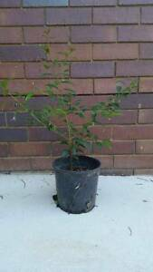 Lilly Pilly Plants Wagga Wagga Wagga Wagga City Preview