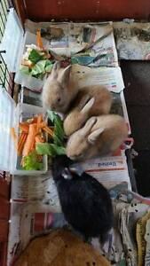 Baby Dwarf Rabbits Fannie Bay Darwin City Preview