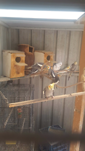 Cockatiels for sale Wiley Park Canterbury Area Preview