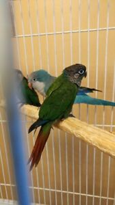 For Sale Conure | Adopt Local Birds in Mississauga / Peel Region