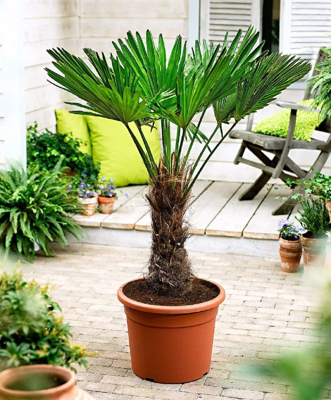 Trachycarpus wagnerianus Frostharte Hanfpalme bis zu120cm Freilandzucht. bis -18