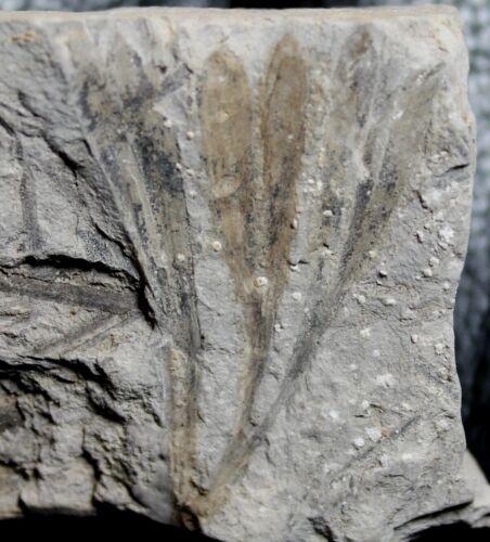 Ginkgoites sp - Rare Jurassic, Hettangian Ginkgo fossil plant
